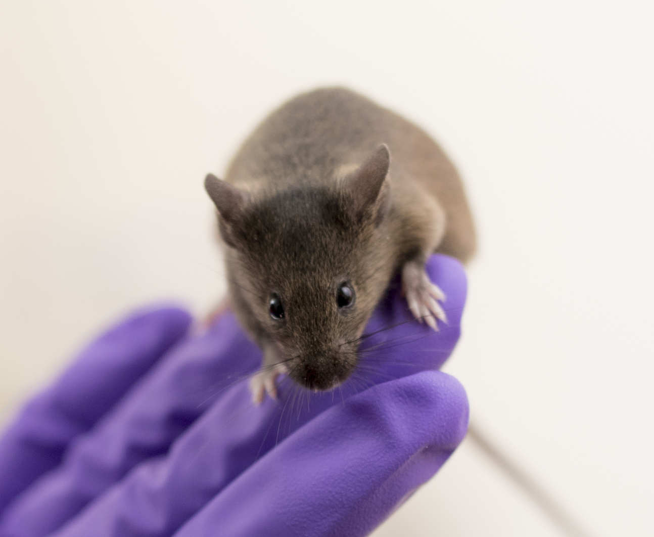 A mouse on a gloved hand