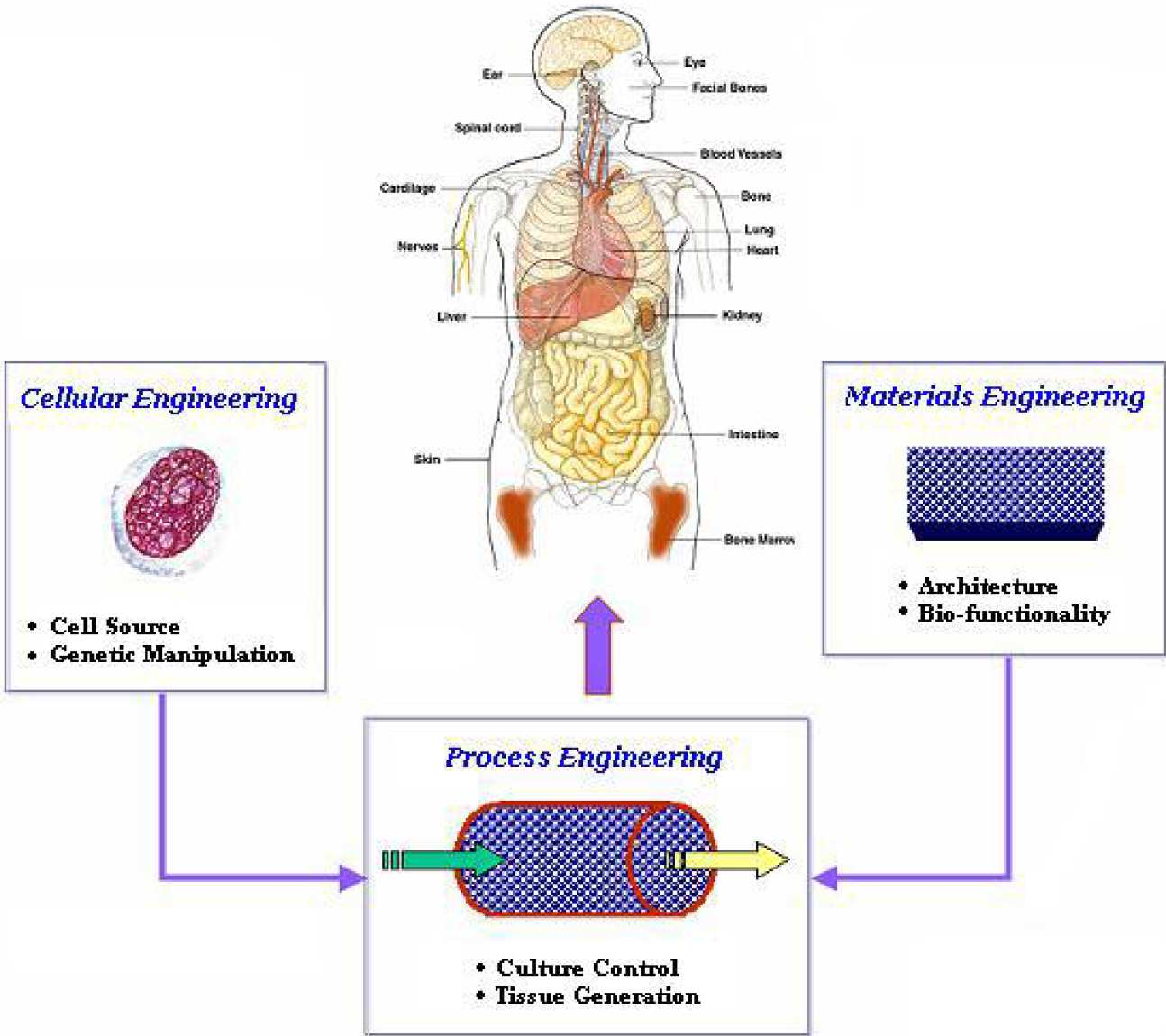 Flow diagram of tissue engineering