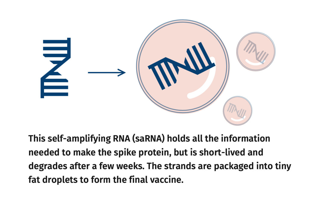 Infographic - Packaging RNA in lipid droplets