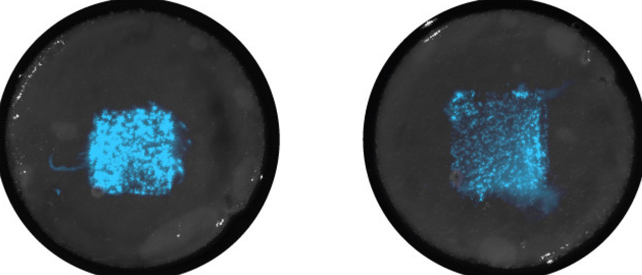 Two petri dishes with the ELMs at centre, glowing blue