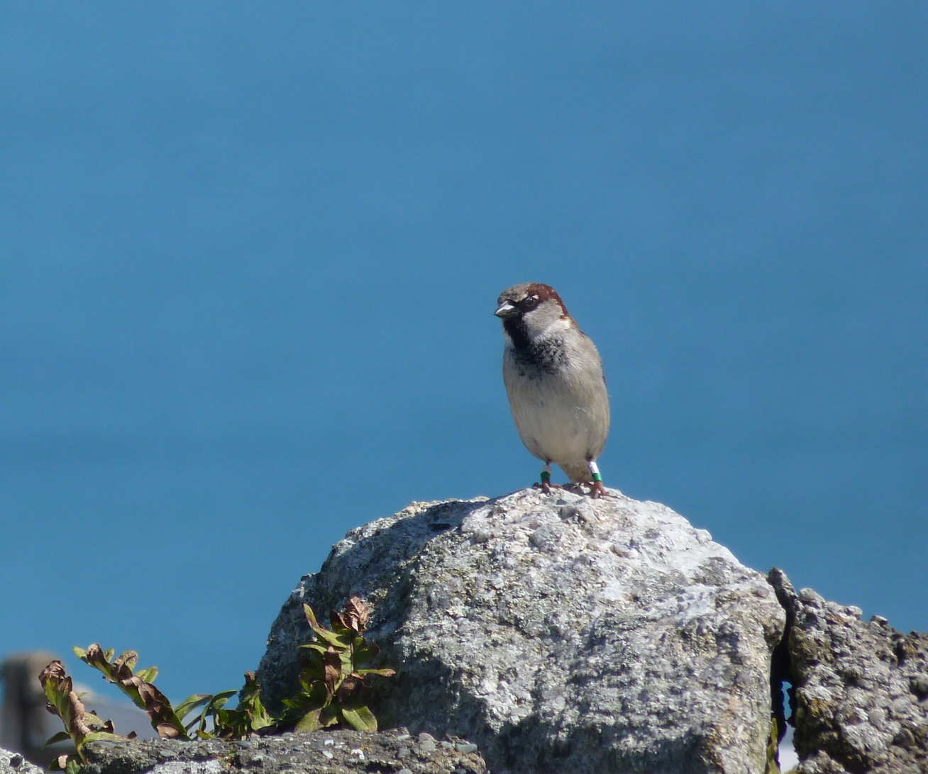 Sparrow on a rock