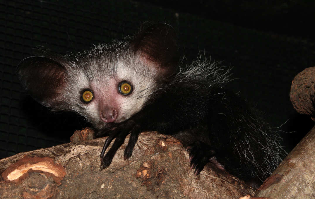 Small mammal with large eyes and long fingers
