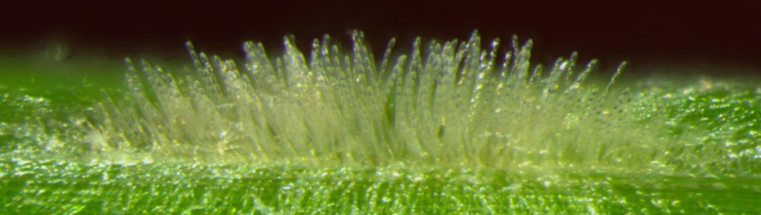 Sporulating colony of a powdery mildew fungus on the surface of a barley leaf