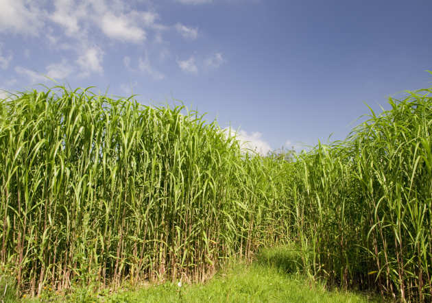 A field of biofuel crops