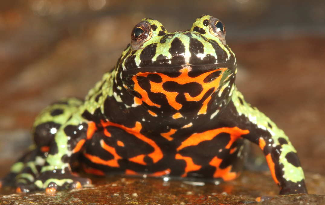 A captive Oriental fire-bellied toad (Bombina orientalis) imported into Europe from South Korea.