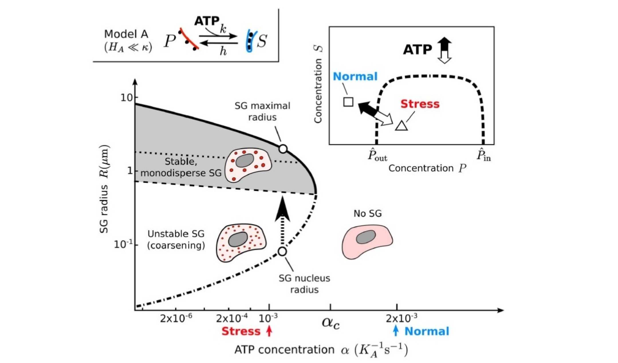 Chiu Fan Lee's group uses a non-equilibrium phase separation model to explain how ATP-depletion can trigger stress granule formation