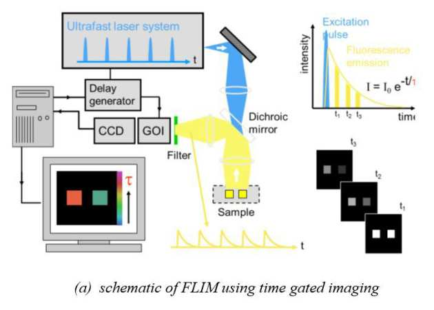 Fluorescence Lifetime Imaging (FLIM) | Research groups