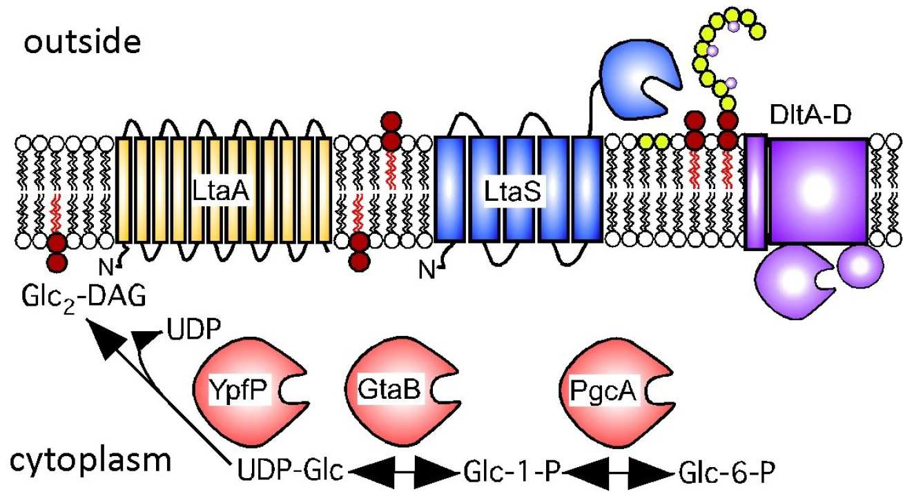 Figure 3: Schematic representation of proteins involved in LTA synthesis, their subcellular localisation and function. LTA in S. aureus is anchored to the membrane by the glycolipid diglucosyl-diacylglycerol. S. aureus proteins PgcA, GtaB and YpfP are involved glycolipid synthesis, which takes place in the bacterial cytoplasm. After its cytoplasmic synthesis the glycolipid is transferred from the inner leaflet of the membrane to the outer leaflet most likely aided by the membrane permease LtaA. Subsequently, the LTA synthase enzyme LtaS polymerises the polyglycerolphosphate backbone of LTA using the phospholipids phosphatidylglycerol (PG) as donor molecule for the glycerolphosphate repeating units. Lastly, proteins encoded by the dlt operon (DltA-D) introduce D-Ala modifications into LTA.