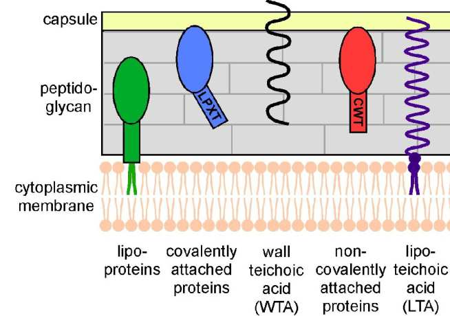 Figure 1: Schematic representation of the cell wall envelope in Gram-positive bacteria. The cell wall envelope is a complex surface structure composed of peptidoglycan, polysaccharides (i.e. capsule), proteins (i.e. lipoproteins, covalently and non-covalently attached proteins) and secondary wall polymers WTA and LTA.