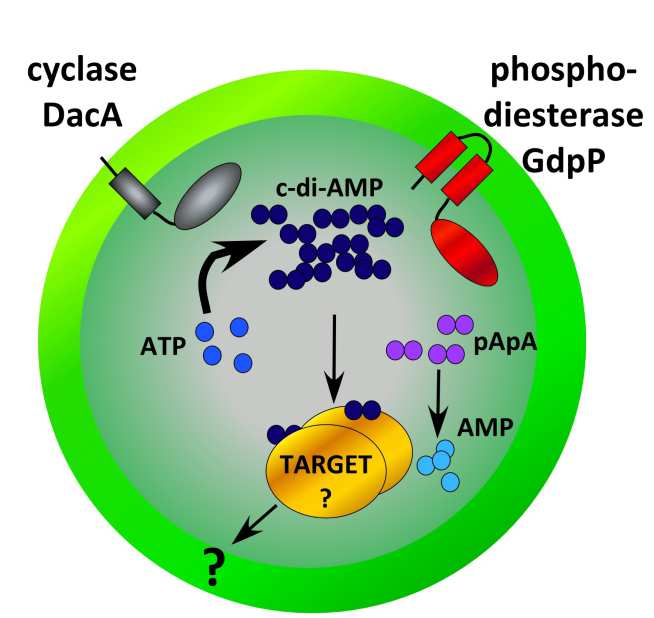 Figure 5: Model of c-di-AMP synthesis and degradation in S. aureus. c-di-AMP is synthesized by the cyclase DacA (dark blue circles) from two molecules of ATP (light blue circles) and GdpP (red protein) hydrolyses c-di-AMP into 5'-pApA (purple circles). LTA-negative S. aureus suppressor strains survive by inactivating the phosphodiesterase activity of GdpP resulting in an increase in intracellular c-di-AMP levels. Next, it is assumed that c-di-AMP binds to a specific set of target proteins (golden proteins) and either directly affects their activity or indirectly affects the expression of other proteins, altogether compensating for the cell wall defect caused by the absence of LTA.