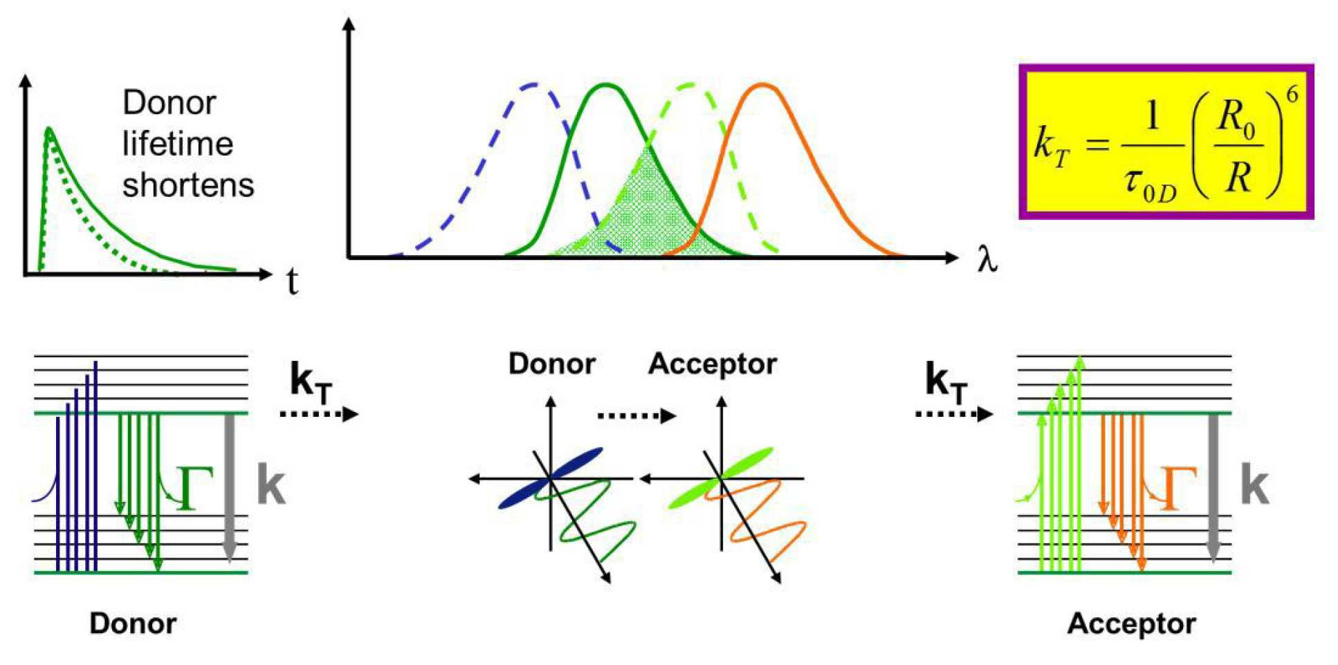 Förster Resonant Energy Transfer (FRET) | Research groups | Imperial