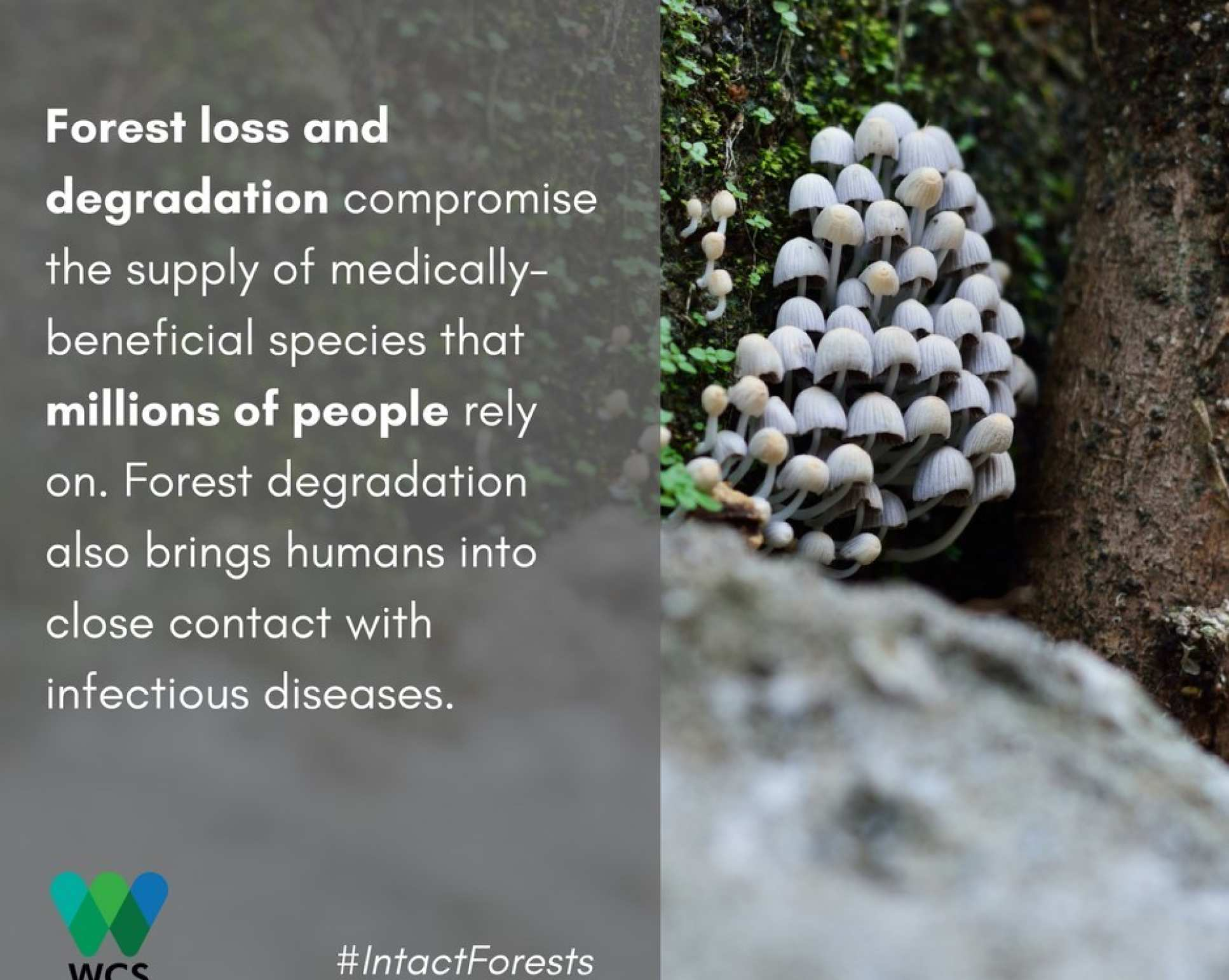 Image of mushrooms with caption: Forest loss and degradation compromise the supply of medically beneficial species that millions of people rely on. Forest degradation also brings humans into close contact with infectious diseases.