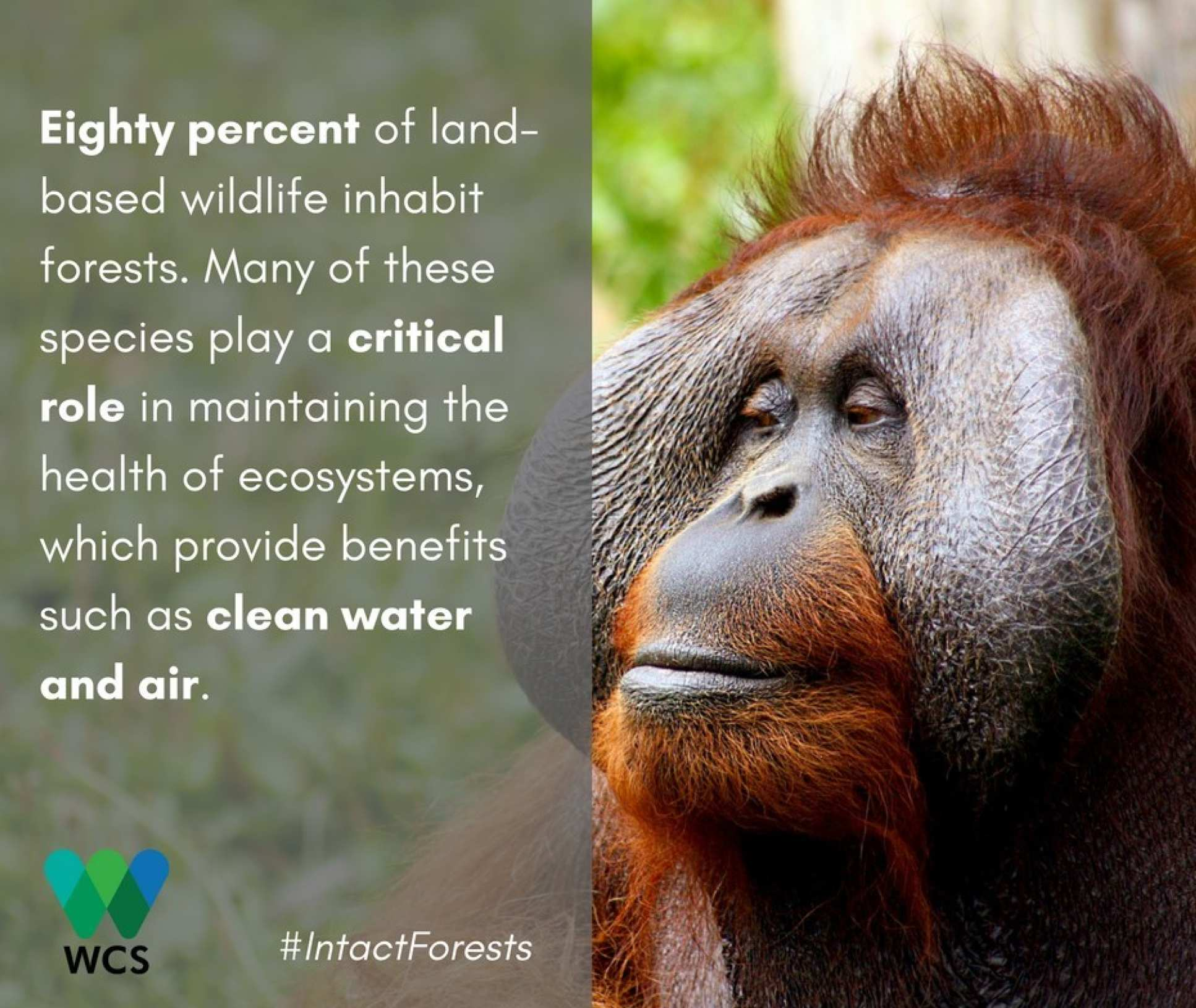 Image of orangutan with caption: Eighty percent of land-based wildlife inhabit forests. Many of these species play a critical role in maintaining the health of ecosystems, which provide benefits such as clean water and air.