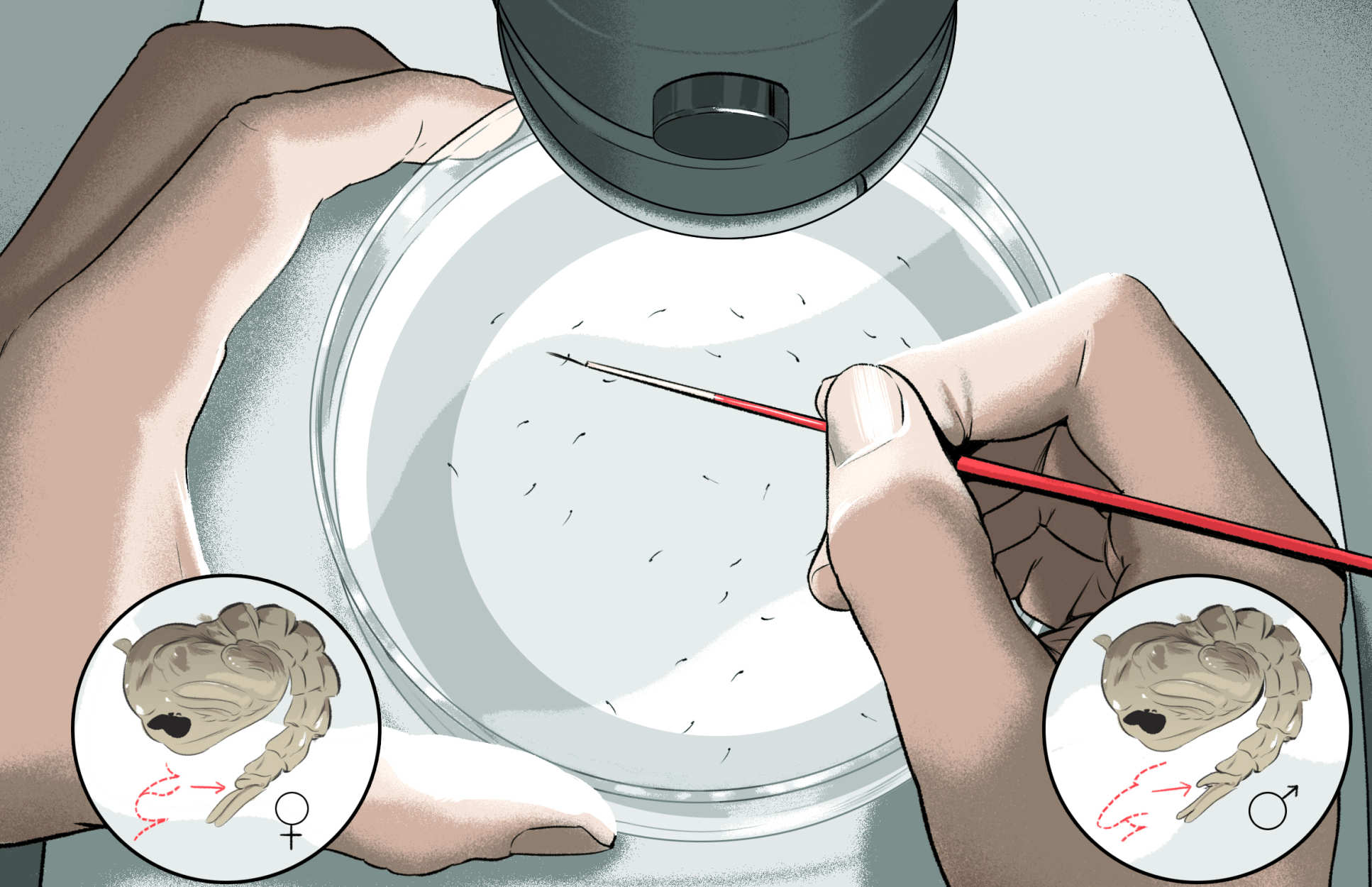 An illustration showing a scientist separating mosquito pupae into males and females under a microscope