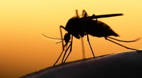 Mosquito on an arm in the sunset