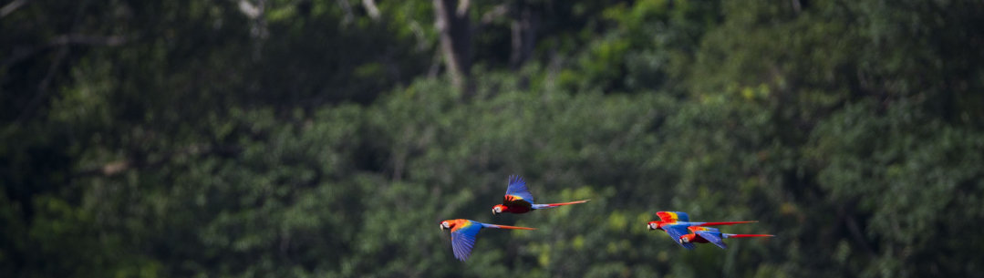 Parrots flying in the Amazon