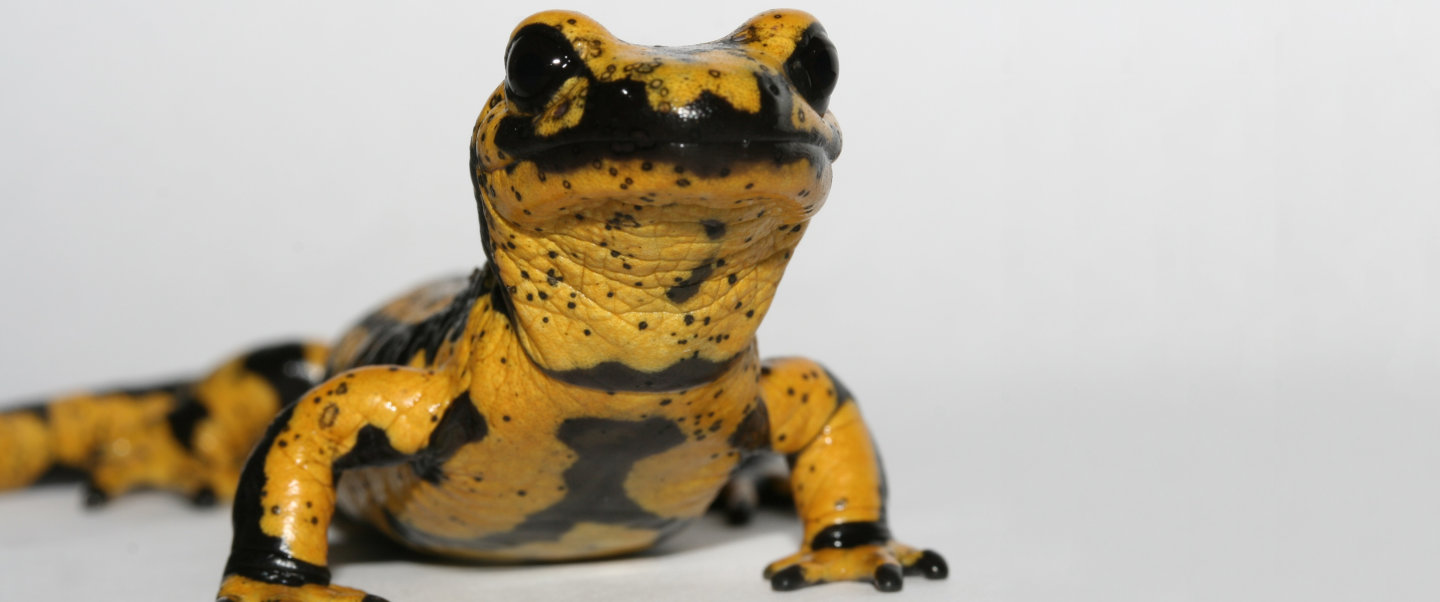A fire salamander infected with the Bsal fungus