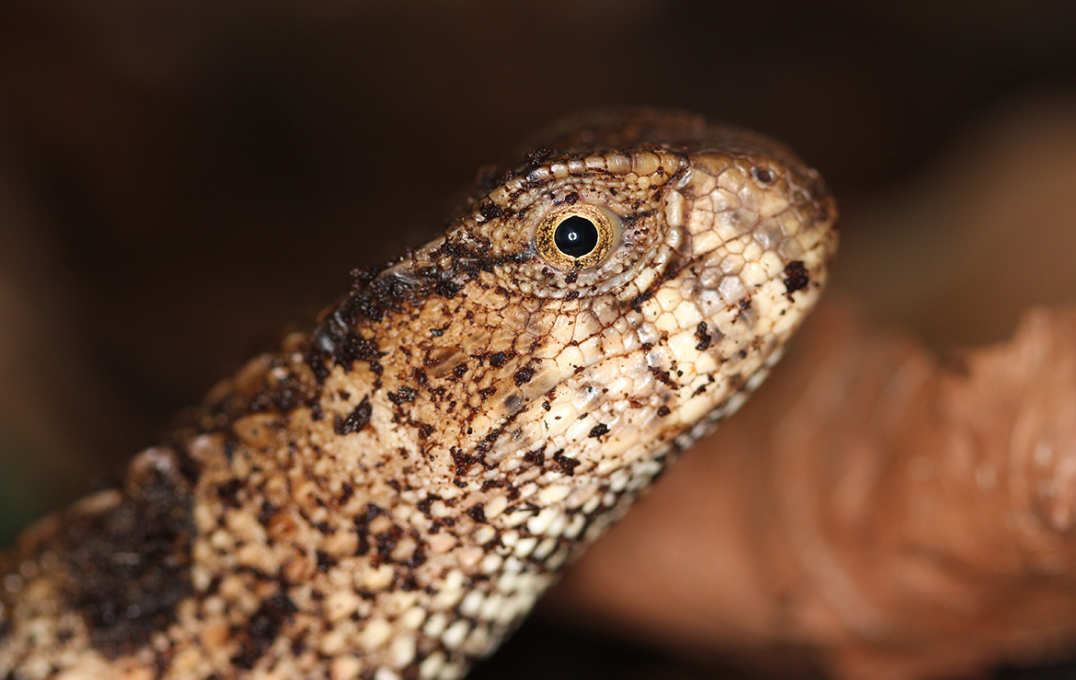 Head of a brown patchy lizard