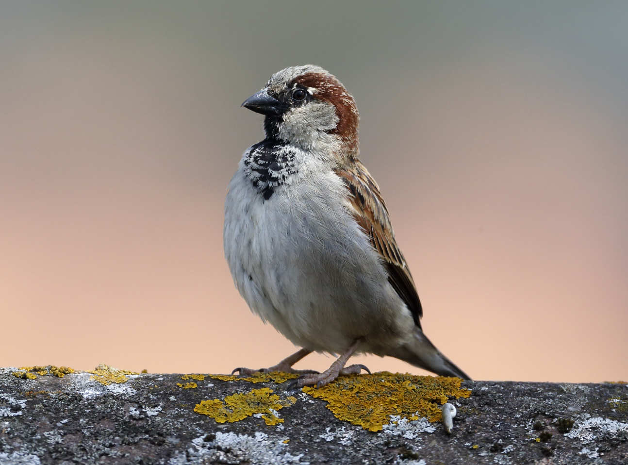 Male sparrow standing tall