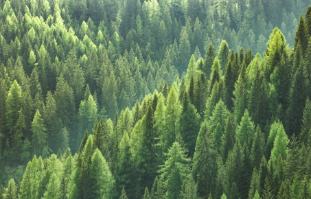 Healthy green trees in forest of spruce, fir and pine c.zlikovec