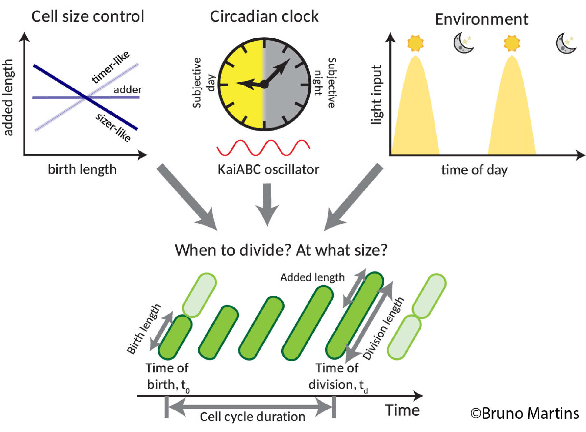 A graph of cell size, an image of a clock with day/night portion, and a graph of daylight and nighttime across 24 hours, all feeding into a graph showing different lengths of cells dividing at different times of the day