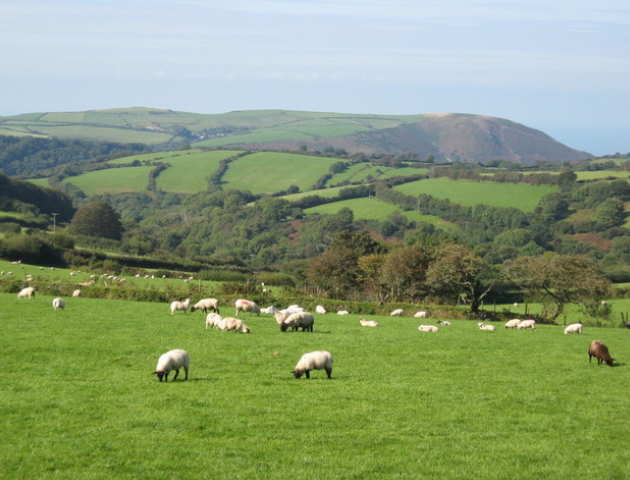 English countryside - hills, hedgerows and sheep