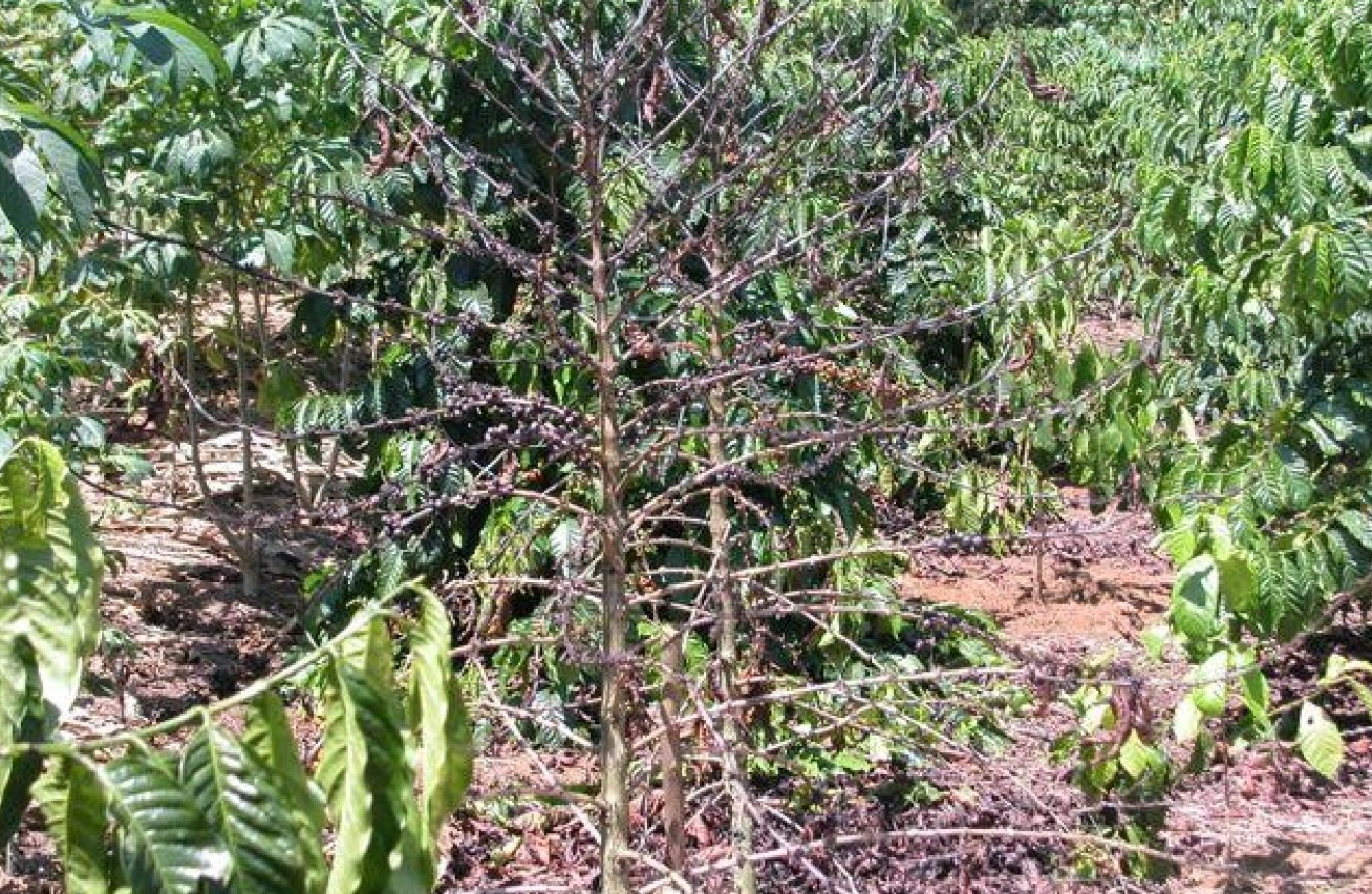 A coffee plant with no leaves and dark berries