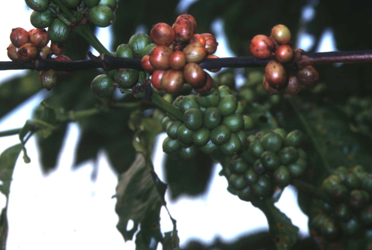Coffee berries on a branch, some green and some turning dark red