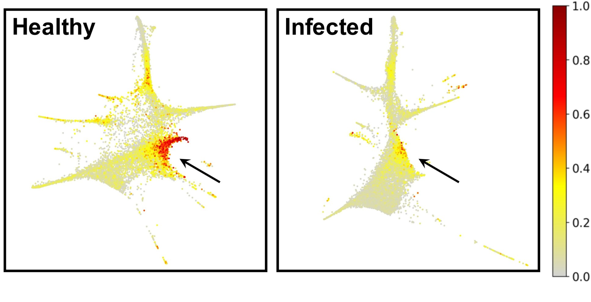 Cell images showing a large red area (left, healhty) and a greatly diminished red area (right, infected)
