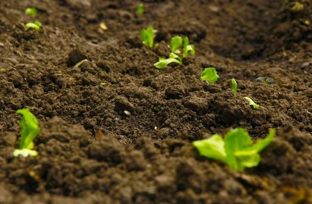 Earth - soil - with tiny plant shoots growing