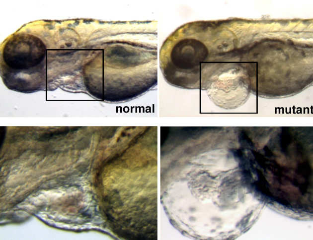 In zebrafish, if the heart doesn't work properly, it inflates because tissue fluid accumulates in the so called pericardium