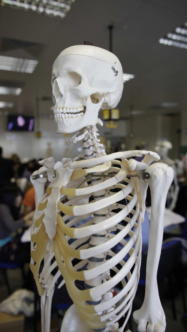 anatomy - skeleton