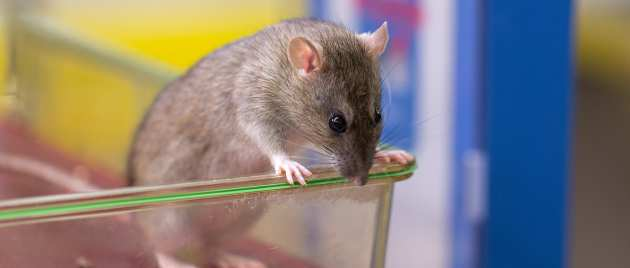 rats being studied as a model of multiple sclerosis