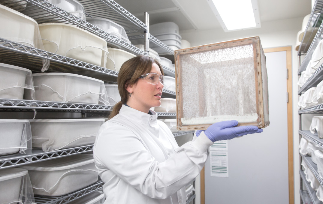 Researcher in the Baum Lab Insectary