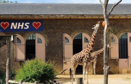 Giraffes at ZSL Londoon Zoo with a Love NHS sign