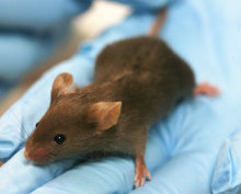 Why can mice tell us about human disease?
