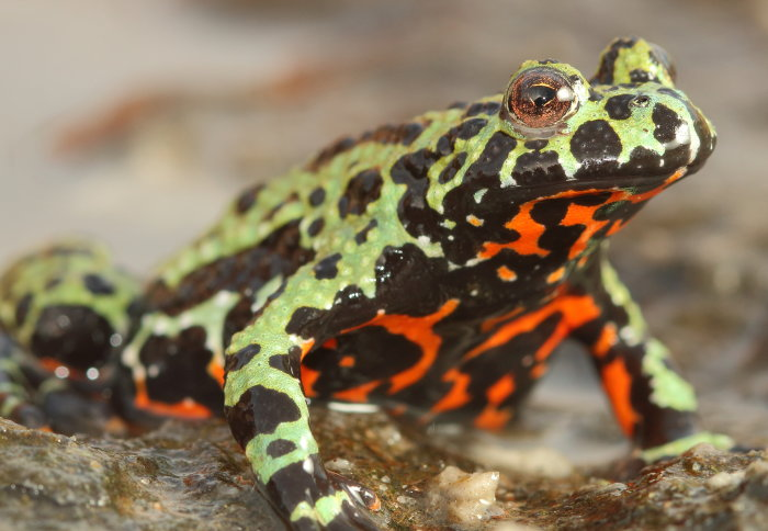 Genetic clues reveal origins of killer fungus behind the 'amphibian plague' | Imperial News | Imperial College London