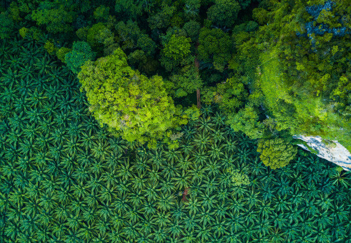 Aerial view of palm oil plantation next to forest