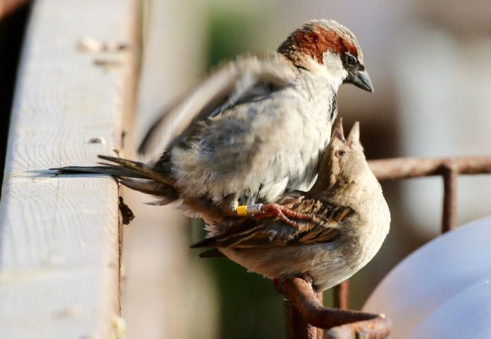 Two sparrows mating