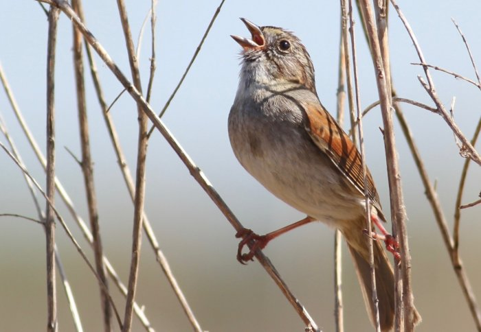 Stubborn sparrows may have sung the same songs for hundreds of years