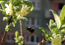 City bees outbreed their country cousins