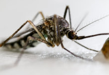 Researchers have eliminated caged mosquitoes using 'gene drive' technology to spread a genetic modification that blocks female reproduction.