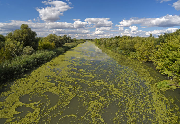A river bounded by trees and covered in blue-green algae (cyanobacteria)