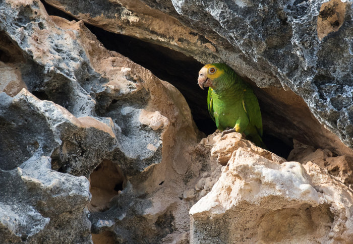 A parrot peeking out between a gap in some rocks