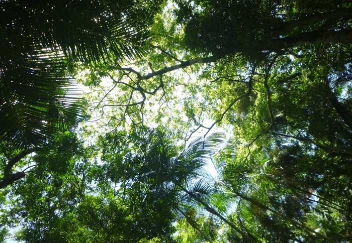 Looking up into a dense green canopy of trees