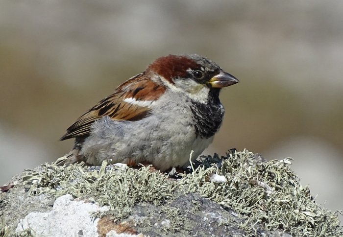 A sparrow with a large black patch on its chest