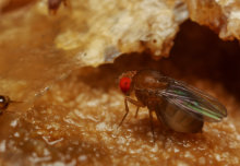 Lack of sleep is not necessarily fatal for flies