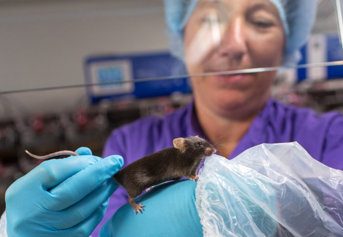 A mouse being handled carefully by a technician in a lab
