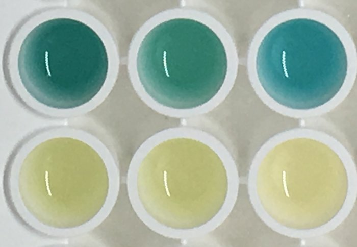 Photo showing blue coloured urine and normal coloured urine from the study mice