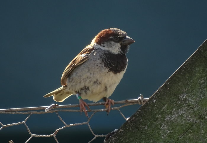 A sparrow on a chain-link fence